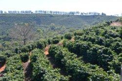 画像3: ブラジル ダスアルマス農園【中深煎り】